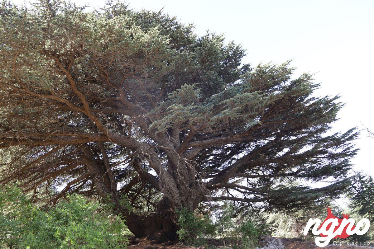 cedrus-libani-cedars-lebanon-nogarlicnoonions-482019-07-14-08-58-40