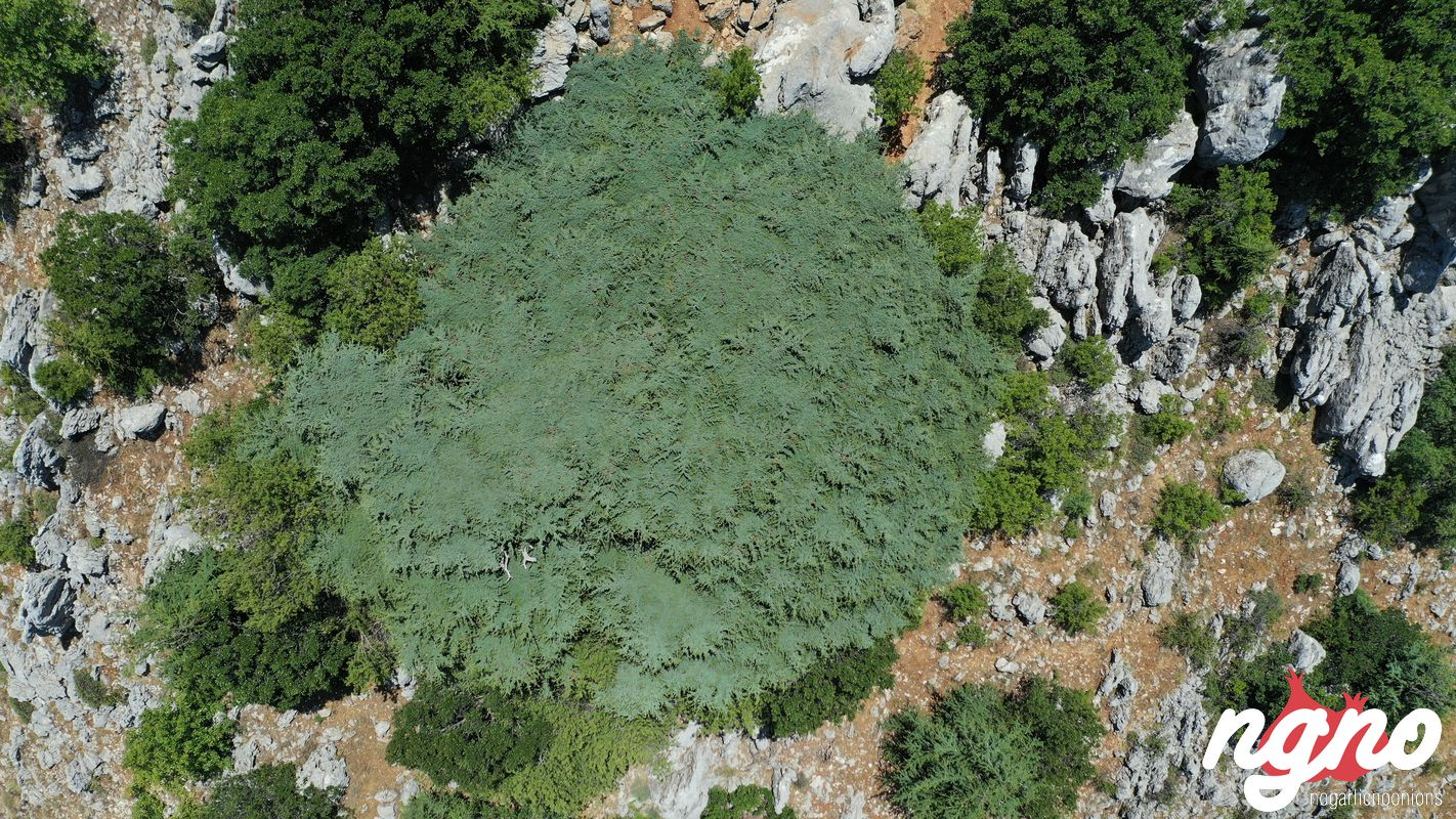 cedrus-libani-cedars-lebanon-nogarlicnoonions-462019-07-14-08-58-18