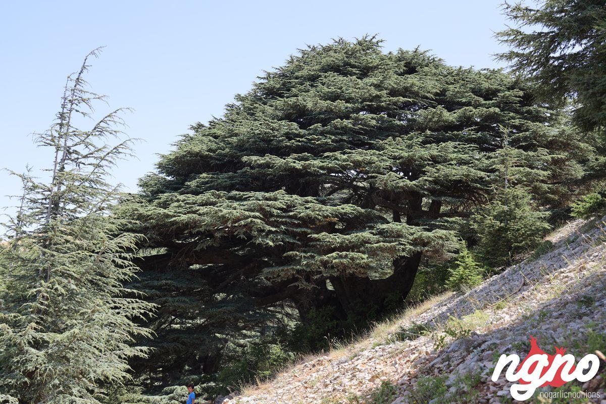 cedrus-libani-cedars-lebanon-nogarlicnoonions-492019-07-14-08-58-41