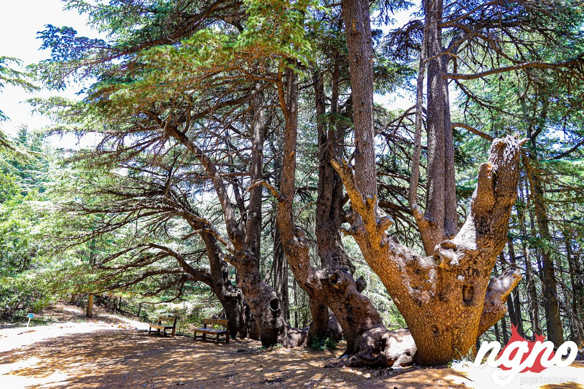 cedrus-libani-cedars-lebanon-nogarlicnoonions-582019-07-14-08-57-05